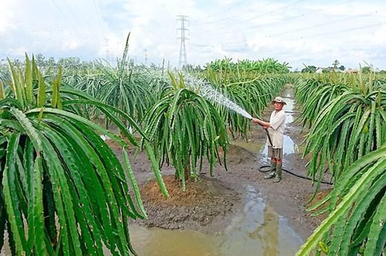 Nhiều hộ gia đình ở huyện Châu Thành ùn ùn mở rộng diện tích trồng thanh long