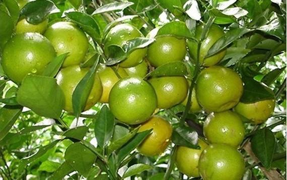 Cây quýt đường được trồng nhiều ở xã Tân Thành, thị xã Đồng Xoài