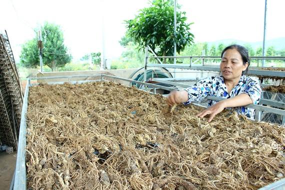 Người dân xã Đông Thanh, huyện Lâm Hà, tỉnh Lâm Đồng thu hoạch Đương quy.       Ảnh: THÀNH AN