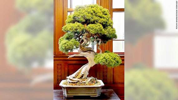 Trộm bonsai gần 120.000 USD