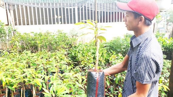 Mặc dù chưa được kiểm nghiệm nhưng những năm gần đây  sầu riêng Musang King được nhiều người dân lựa chọn trồng