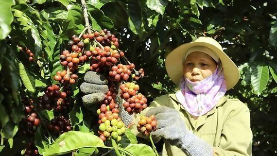 Nhờ tái canh hiệu quả nên năng suất cà phê tại Lâm Đồng luôn dẫn đầu cả nước