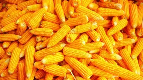 6 tháng, nhập bắp làm thức ăn chăn nuôi trị giá gần 1 tỷ USD