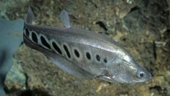 Chọn tạo được 1.000 con giống cá thát lát còm bố mẹ