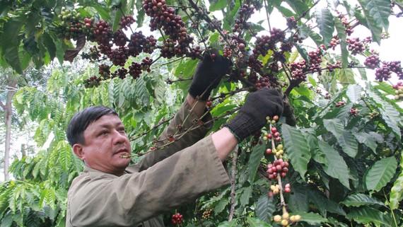 Nông dân Đắk Lắk không vui với vụ thu hoạch cà phê năm nay. Ảnh: ĐÔNG NGUYÊN
