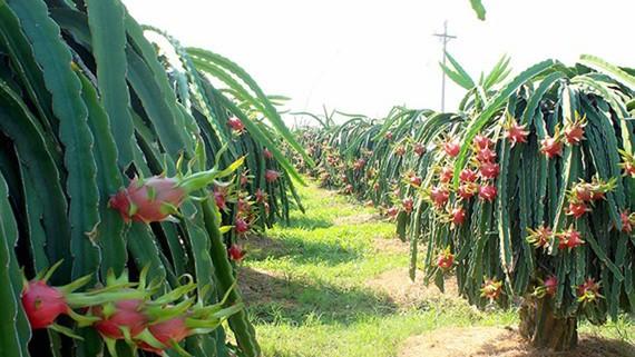 Bình Thuận có trên 10.000ha thanh long VietGAP