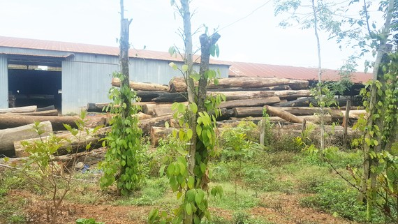 """Có hàng trăm khối gỗ lậu trong kho xưởng của Phượng """"râu"""""""