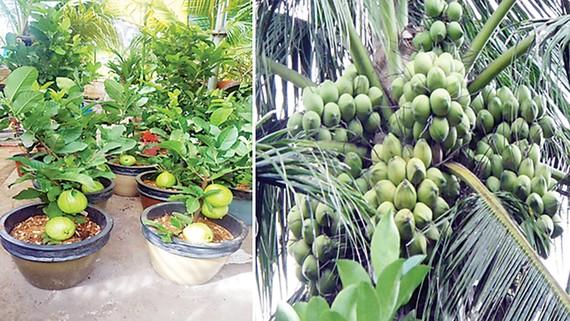 Đi Co.opmart mua cây ổi có trái giá chỉ 50.000đồng/cây