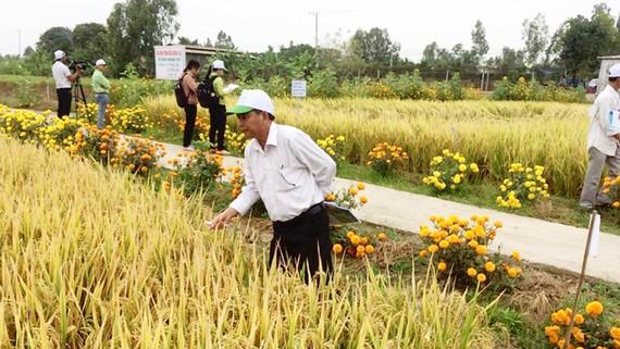 """Mô hình """"ruộng lúa, bờ hoa"""" đem lại hiệu quả cao"""