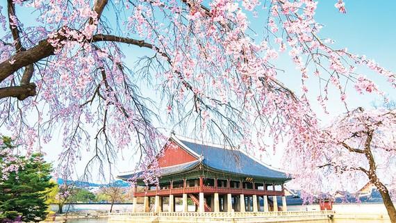 Du xuân Hàn Quốc ngắm hoa anh đào cùng Pymepharco