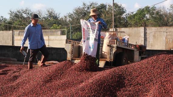 Người trồng giữ hàng trước tình trạng cà phê mất giá