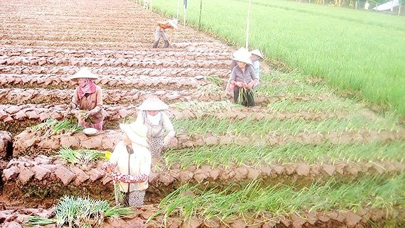 Growing vegetables is more effective than growing rice. (Photo: SGGP)