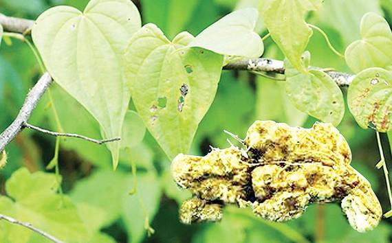 Cây và củ Nần nghệ (Dioscorea collettii)