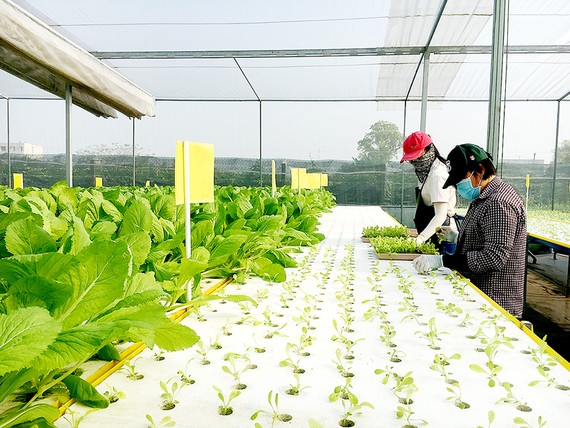 Trồng rau thủy canh không tốn diện tích, phù hợp nông nghiệp đô thị