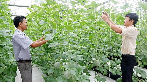 Các kỹ sư nông nghiệp trẻ đang chăm sóc dưa lưới trong nhà màng ở ngoại thành TPHCM