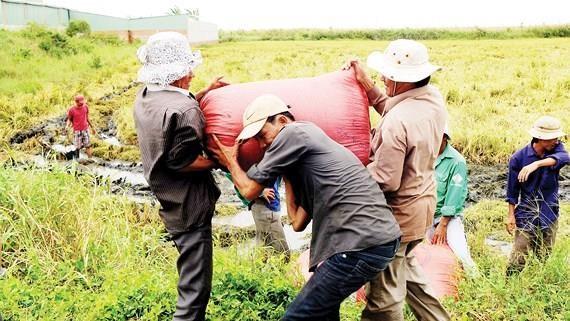 Thu hoạch lúa tại ĐBSCL. Ảnh: THÀNH TRÍ