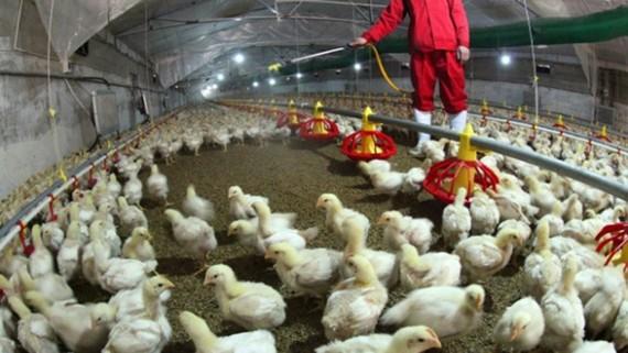 Trang trại chăn nuôi gà ở tỉnh Giang Tô, Trung Quốc