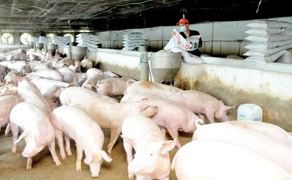 Nuôi heo với thức ăn có thảo dược tại Xí nghiệp Chăn nuôi Vissan - Bình Thuận. Ảnh: CAO THĂNG