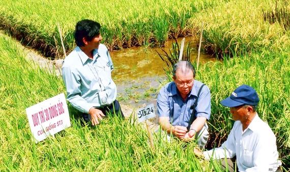 GS-TS Võ Tòng Xuân (ngồi giữa) và kỹ sư Hồ Quang Cua (đứng bên trái) thăm đồng lúa ST