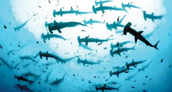 Ecuador phát hiện vùng sinh sản của cá nhám búa