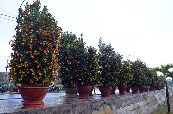 Bonsai Kumquat -Hoian 2018 launched
