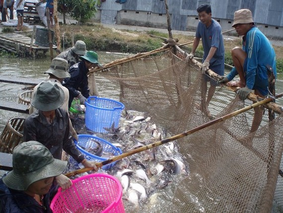 Tra fish prices increase to record high