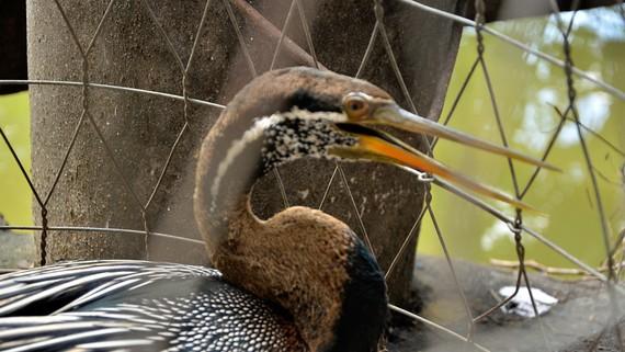 Chú chim nghi là chim cổ rắn
