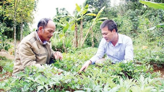 Lãnh đạo xã Măng Cành (bên phải) hướng dẫn hộ ông A Nuông chăm sóc vườn sâm đương quy
