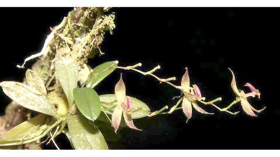 Loài phong lan mới tại rừng nhiệt đới Peru