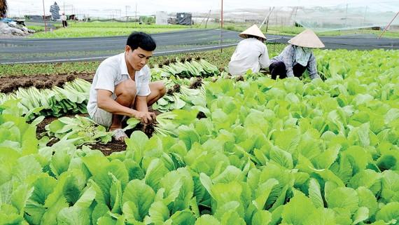 Nông dân TPHCM đang thích nghi với biến đổi khí hậu để tăng gia sản xuất. Ảnh: THÀNH TRÍ