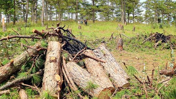 Rừng thông Đà Lạt bị phá để lấy đất sản xuất. Ảnh: ĐOÀN KIÊN
