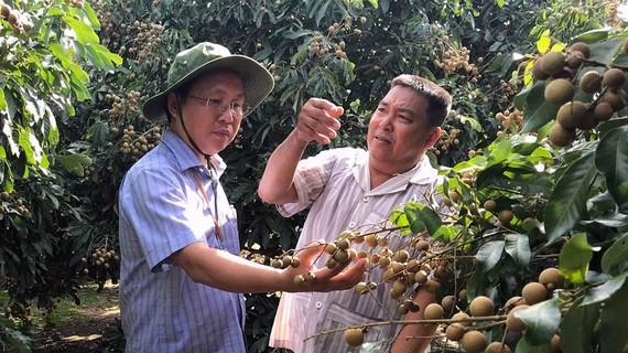 Ông Lê Công Lý, Chủ tịch UBND huyện Phụng Hiệp (trái)  thăm mô hình trồng nhãn của nông dân. Ảnh: CAO PHONG