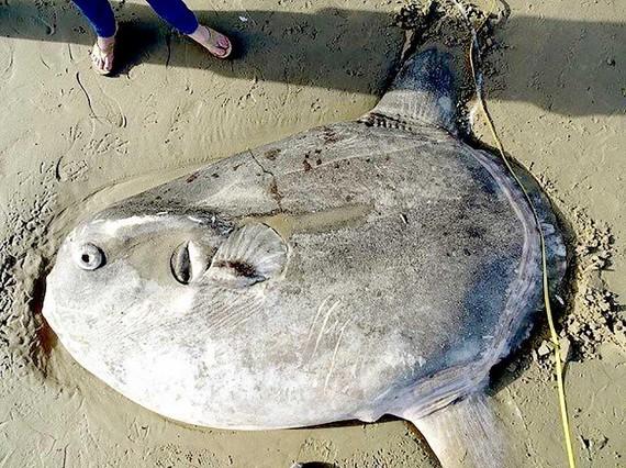 Cá hiếm xuất hiện ở Mỹ