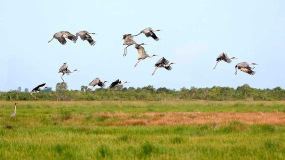 Đàn sếu đầu đỏ bắt đầu về đồng cỏ bàng Phú Mỹ (Kiên Giang) sinh sống. Ảnh: TRUNG HƯNG