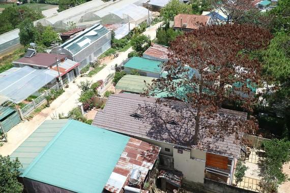 """Hai cây thông bị """"nhốt"""" trong nhà chết khô, được phát hiện chưa lâu tại tổ dân phố 18, phường 3, TP Đà Lạt. Ảnh: ĐOÀN KIÊN"""