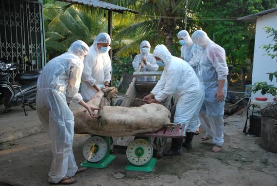 Hỗ trợ hơn 357 tỷ đồng cho người chăn nuôi bị thiệt hại do dịch tả heo