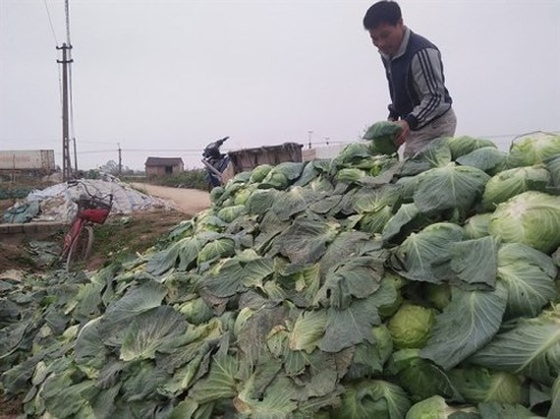 Cải bắp của nông dân ở Nghệ An chất đống không ai mua, giá rẻ như bèo. Ảnh: baonghean