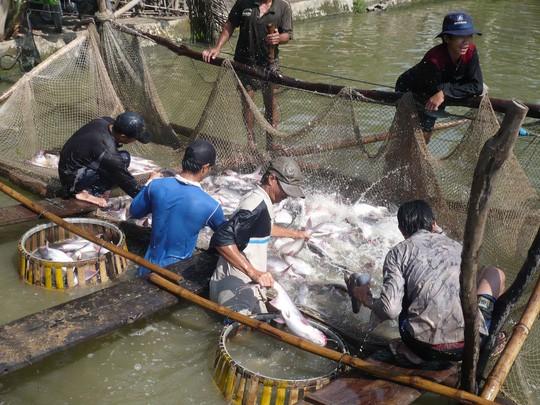Xuất khẩu cá tra vào thị trường Trung Quốc cần lấy chất lượng làm hàng đầu. Trong ảnh: Nông dân miền Tây vui mừng khi giá cá hiện nay tăng cao Ảnh: THỐT NỐT