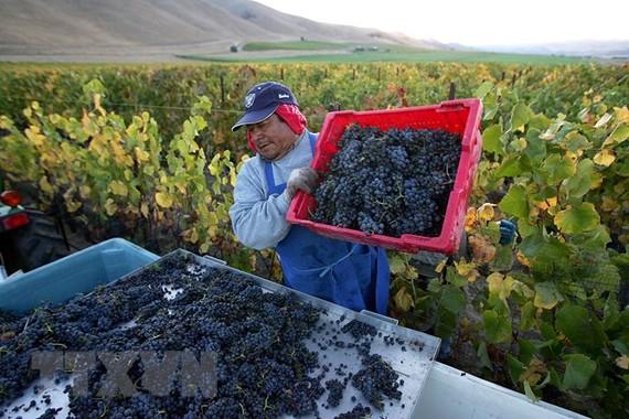 Nông dân thu hoạch nho tại California, Mỹ. (Nguồn: AFP/TTXVN)