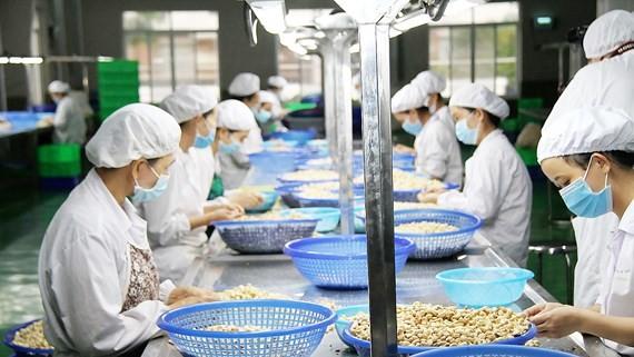 Chế biến điều nhân tại Công ty TNHH SX-TM Phúc An (Phước Long, tỉnh Bình Phước). Ảnh: PHIÊU NHIÊN
