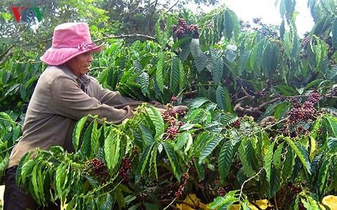 Dự báo giá cà phê duy trì ở mức thấp từ nay đến cuối năm