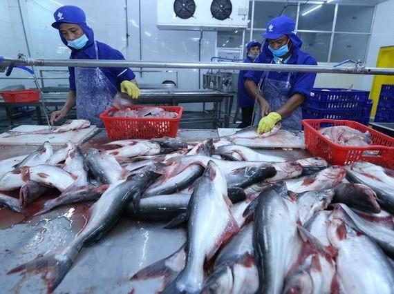 Chế biến cá tra xuất khẩu tại nhà máy của Công ty trách nhiệm hữu hạn Công nghiệp thủy sản Miền Nam. (Ảnh: Vũ Sinh/TTXVN)