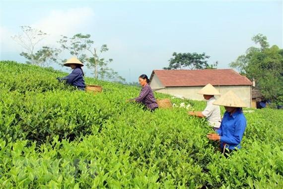 Tìm giải pháp xây dựng thương hiệu chè đặc sản Việt Nam