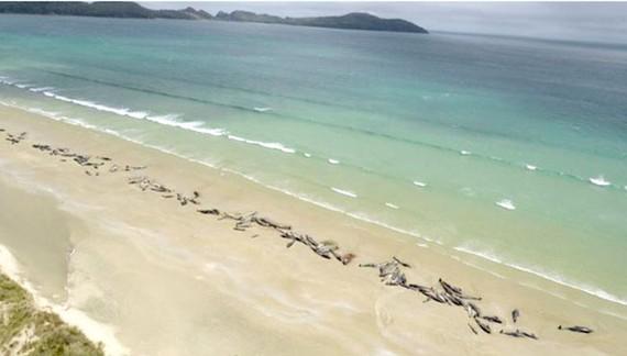 145 cá voi chết vì mắc cạn tại New Zealand