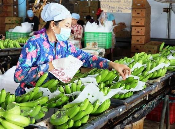Dán tem kiểm định chất lượng sản phẩm tại Trang trại chuối xuất khẩu Huy Long An, Tây Ninh. (Ảnh: Lê Đức Hoảnh/TTXVN)
