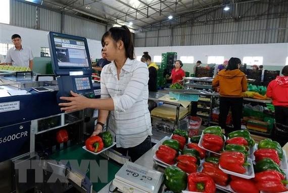 Một cơ sở sản xuất rau sạch ở huyện Đức Trọng, Lâm Đồng, áp dụng phần mềm Diagri để đồng bộ với hệ thống tem QR, BAR code. (Ảnh: Nguyễn Dũng/TTXVN)