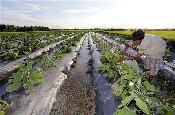 Một hộ gia đình vay vốn ưu đãi cải tạo đất vườn trồng rau màu, cho hiệu quả kinh tế cao. (Ảnh: Trần Việt/TTXVN)