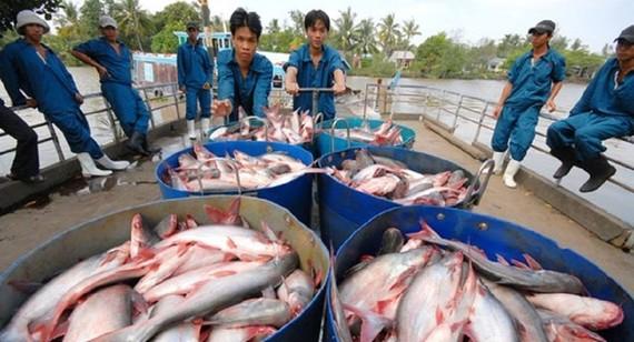 ASEAN là thị trường nhập khẩu cá tra Việt Nam lớn nhất hiện nay