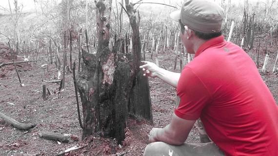 Một thân cây lớn bị chặt hạ và đốt cháy
