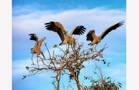 Những đàn chim sải cánh bay về tổ tạo nên bức tranh thiên nhiên sinh động cho rừng tràm (nguồn ảnh: Internet)